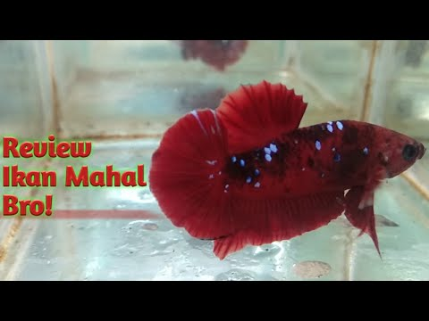 Wajar Mahal Review Cupang Nemo Fancy Galaxy Youtube