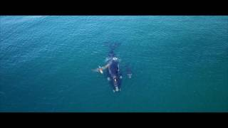 Southern right whales visit the Gold Coast and rest in the shallows