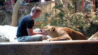 MGM Grand Lion Habitat #3