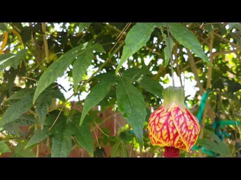 Abutilon 'Red Tiger' Beautiful Tree