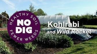 Ways to grow and harvest kohlrabi and wild rocket