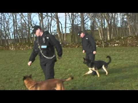 Police Dogs Jasper And Cain In Training (Cumbria Police)