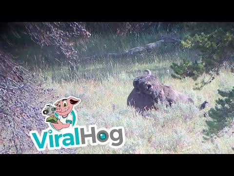 Fisher - How Strong Is A Grizzly Bear? This Strong!
