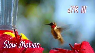 Hummingbird in Slow Motion - Sony a7R III 120 fps