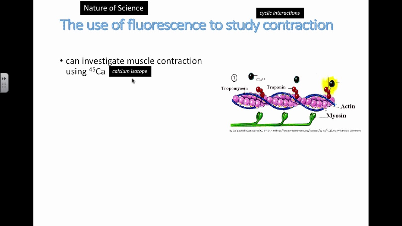 Use of Fluourescence in Muscles (IB Biology)