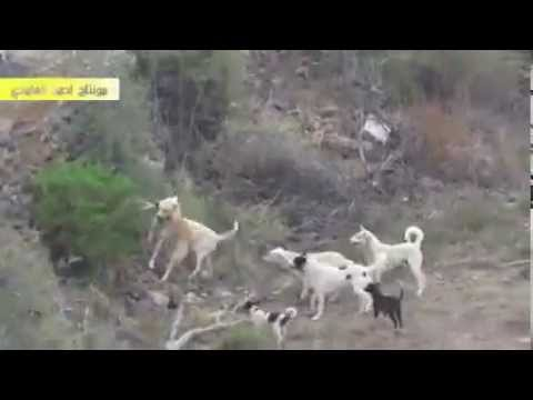 five dogs vs one wolf, fight to death - YouTube