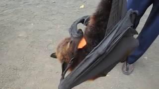 летучая лисица (крылан) Bali
