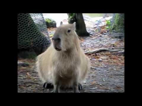 Capybara Raises The Alarm, The Sounds Capybaras make カピバラアラームが呼び出し「危険の人間」