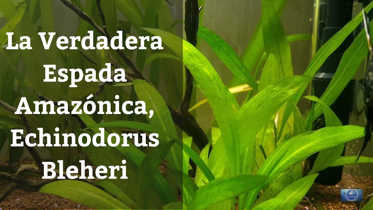 Echinodorus amazonicus reproduccion asexual de las plantas