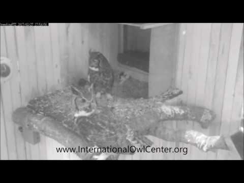 Wild Owls Fighting Outside Aviaries