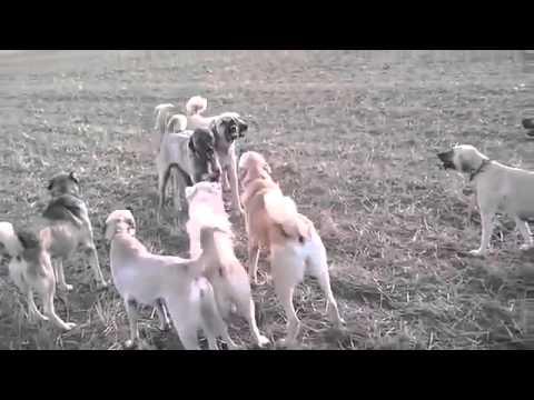 Giant kangal dogs fighting
