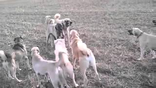 Giant Kangal Dogs Fighting