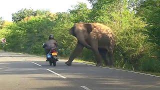 Слон - вымогатель (Шри-Ланка)