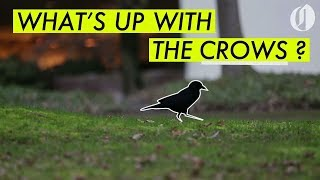 What's up with downtown Portland's crows?