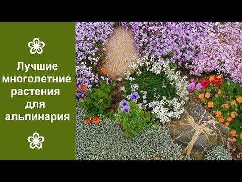 ❀ Лучшие многолетние растения для альпинария