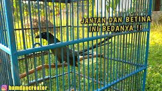 Download Mp3 CIRI CIRI MURAI PAPUA JANTAN DAN BETINA