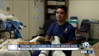 Training greyhounds to become service dogs