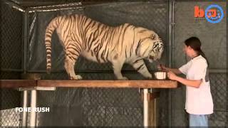 florida woman keeps bengal tigers in her gardenmp4