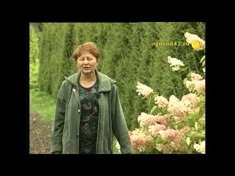 В Сибири растут и гортензии, и розы, и актинидия