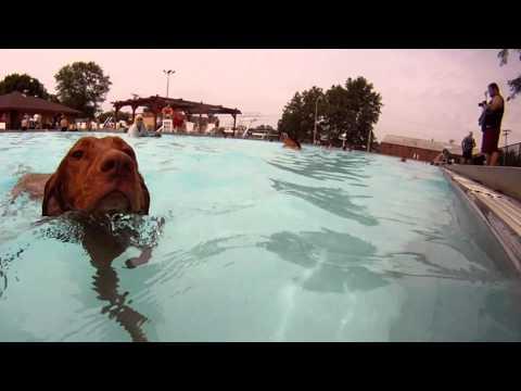 Vizsla Dog Swim with GoPro Hero Camera under water