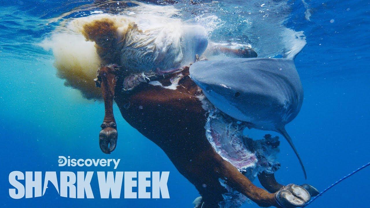 Sharks Devour Cow Carcass   Shark Week