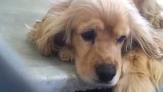 Cocker Spaniel #a4559607 At Carson Shelter Gardena, Ca 4-26-13