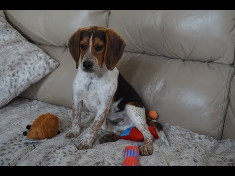 Totally exhausted Beagle puppy: ADOPTED!!