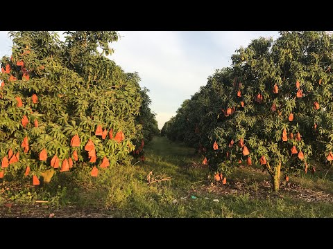 How to care your mango fruits by bagging paper bags