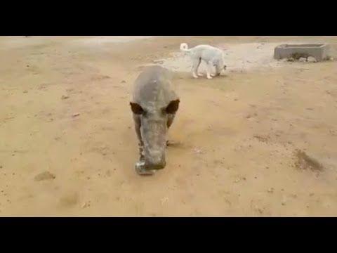 Esme the baby rhino and David the Anatolian Shepherd puppy.