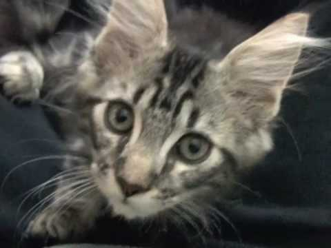 Brutus Being Cute 8 Weeks Old Maine Coon Kitten