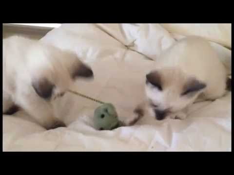 8 week old Siamese Kittens Playing with Toy Mouse