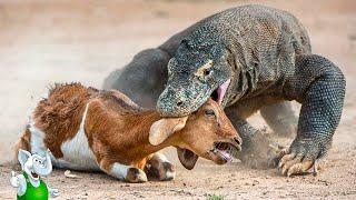 Варан в Деле / Комодский Варан против Змеи, Буйвола, Кабана