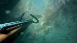 chasse sous marine trégastel bretagne gros lieu jaune à 1minute 59secondes