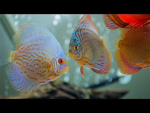 Discus Fish Beauty of Amazon River (for relaxing)
