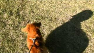 最初は調子いいお散歩ですが、正面からお散歩中の犬を発見。尻尾を巻い...