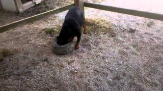 Pregnant Rottweiler, Ziva, And Her Tire.