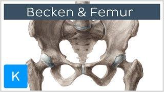 Becken und Femur - Knochen - Anatomie des Menschen   Kenhub