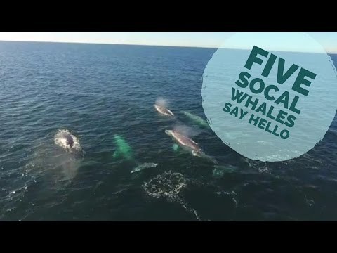 Cute Family of Five Gray Whales Off Dana Point