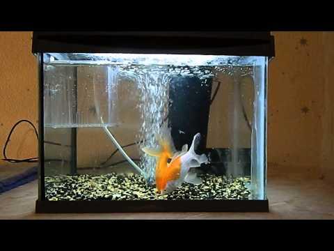 Золотые рыбки .