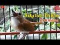 Sikatan Rimba Srdc Istimewa Super Gacor  Tembakan(.mp3 .mp4) Mp3 - Mp4 Download