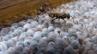 Wasp vs. spider: Death Match
