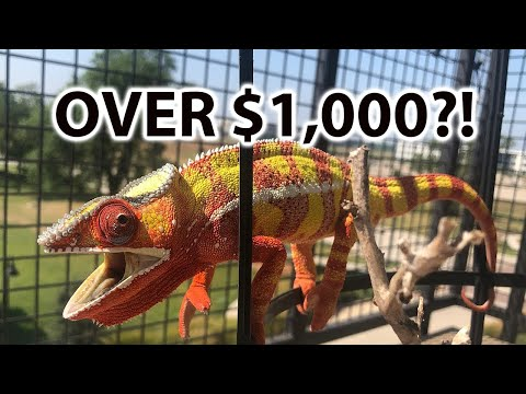 How Much Does A Chameleon Cost?