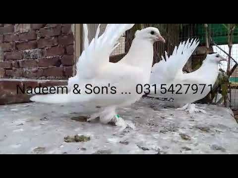 Pure White American Fantail Fancy Pigeon Breeding Setup Of White Indian Fantail