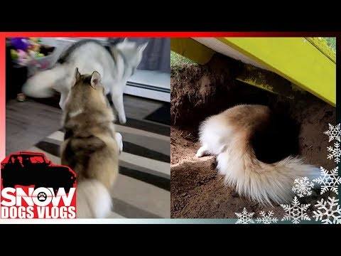 LIVING WITH HUSKIES (Yes they are CRAZY)