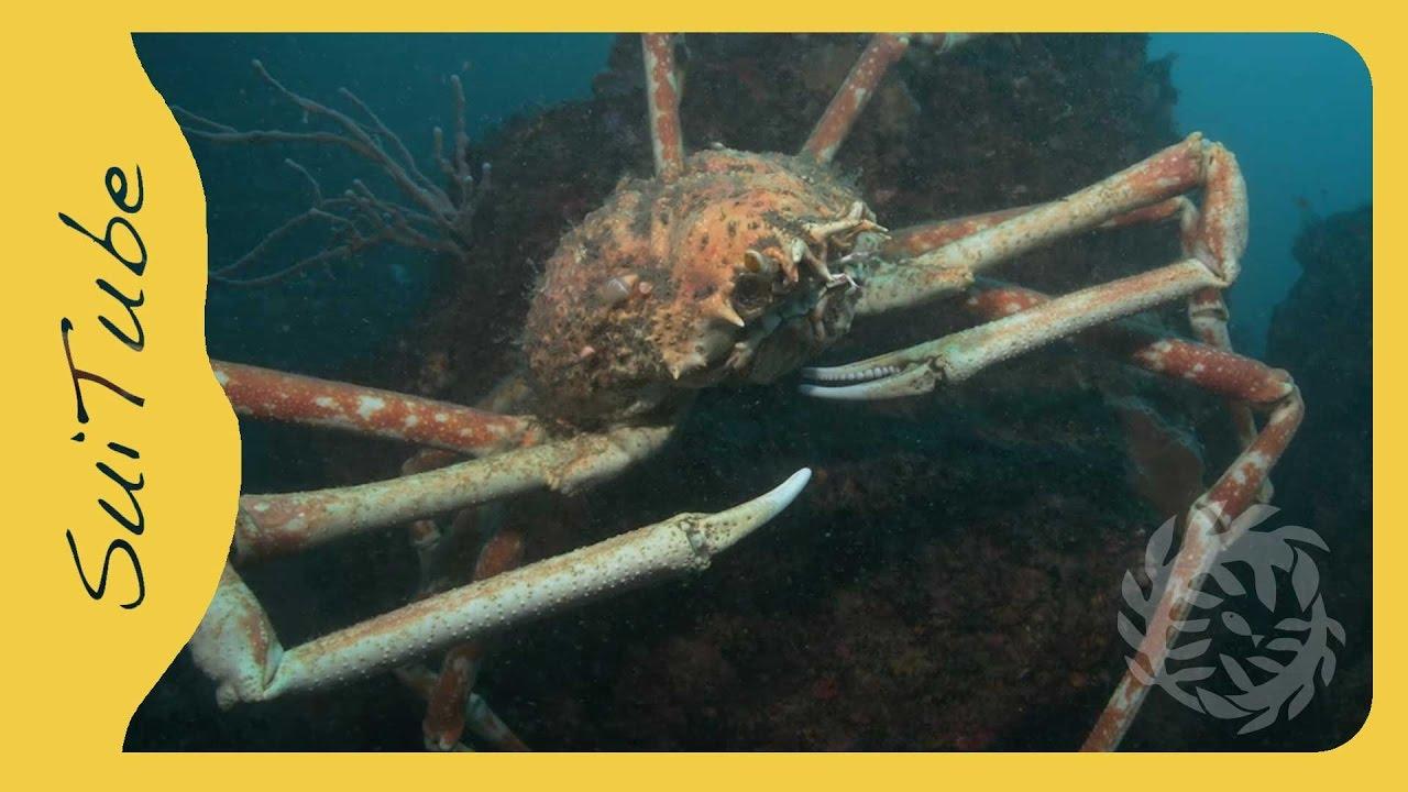 Giant Japanese Spider Crab Youtube
