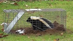 How to Remove Skunk from Havahart Trap from a Safe Distance!