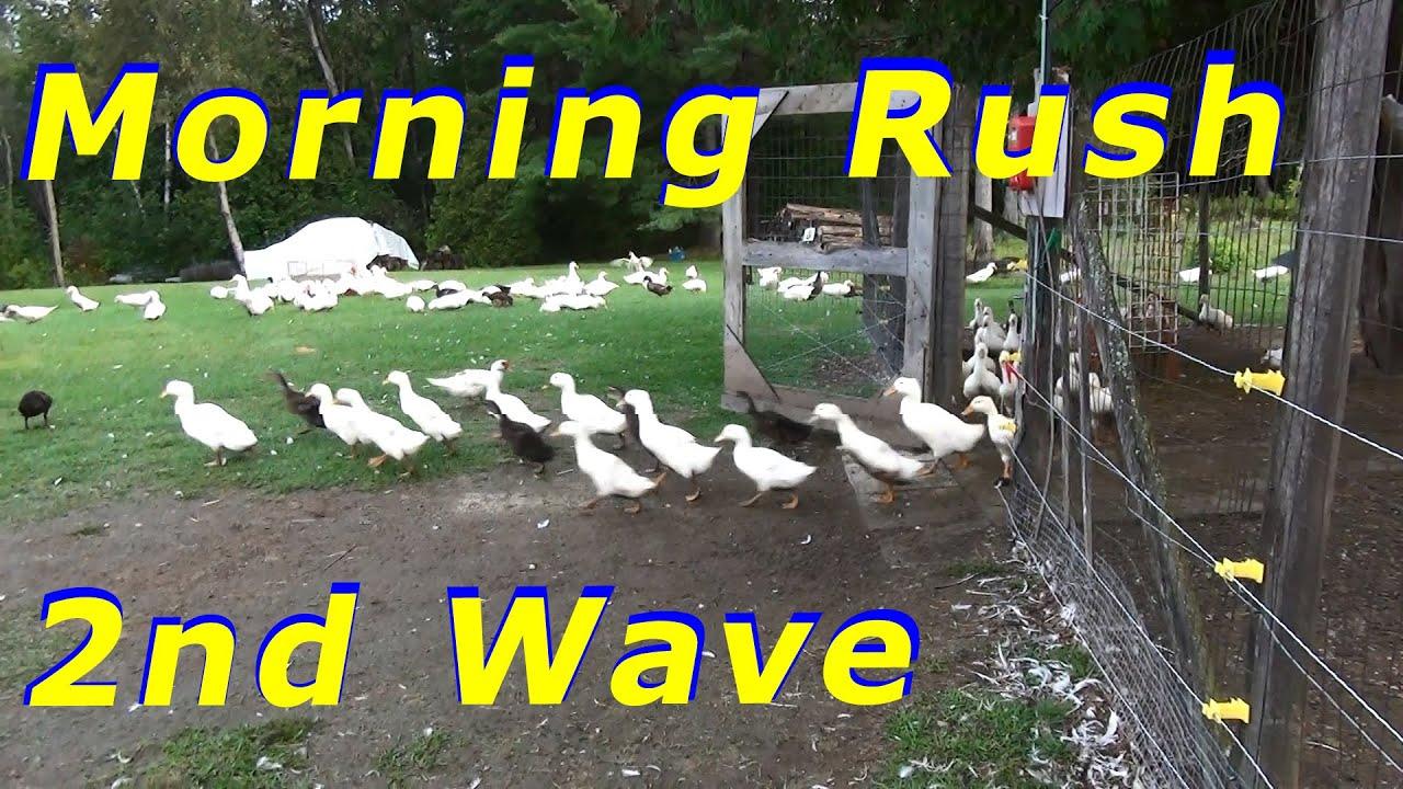 Lots Of False Alarms By The Ducks For The Predator Fox 13 Raising