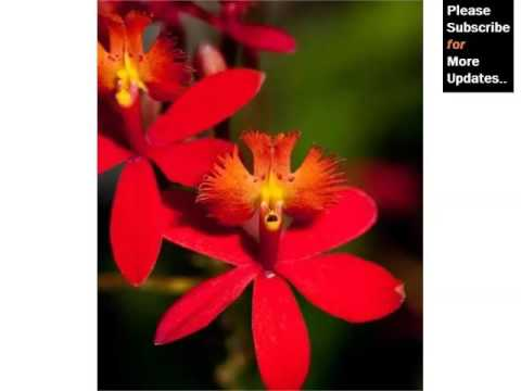 Epidendrum Orchid   Orchid Breed And Tybe Identification By Picture - Flower Epidendrum Orchid