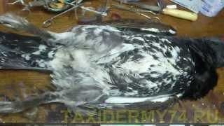 Первый Видеоурок по таксидермии птиц: изготовление изделия Чучело глухаря(Подробный видеоурок по правильному снятию шкуры глухаря для таксидермических изделий, в данном случае..., 2013-05-13T06:02:40.000Z)