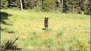 What to expect if you encounter a wolf